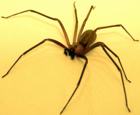 Brown-recluse-3.jpg#asset:1204